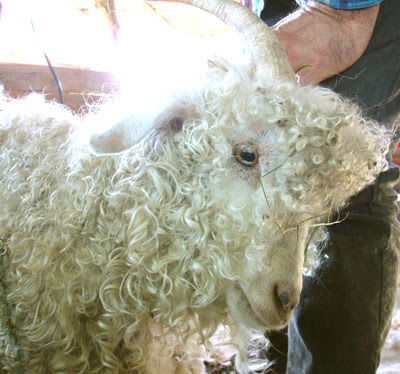 The first Angora to be shorn is a mature female who leads the rest of the flock inside on cold evenings