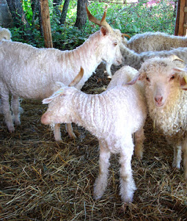 Angora goats having a good scratch after shearing
