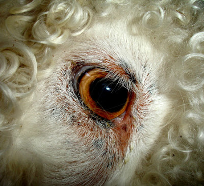 Angora goats' eyes are very beautiful