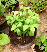 Stevia Plant growing well in a pot