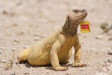 Lizard with teabag.