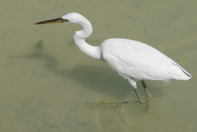 Egret in Qatar