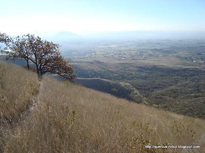 Ladera del Cerro, zacate y un encino