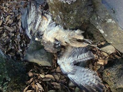 Águila muerta en Cerro Viejo