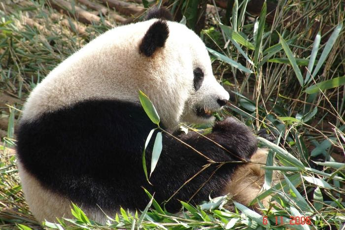 Sexual reproduction of pandas