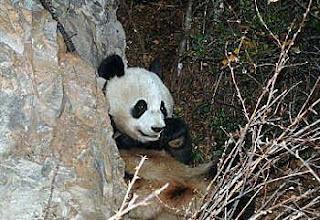 Concern pandas: Giant pandas diseases and natural enemies