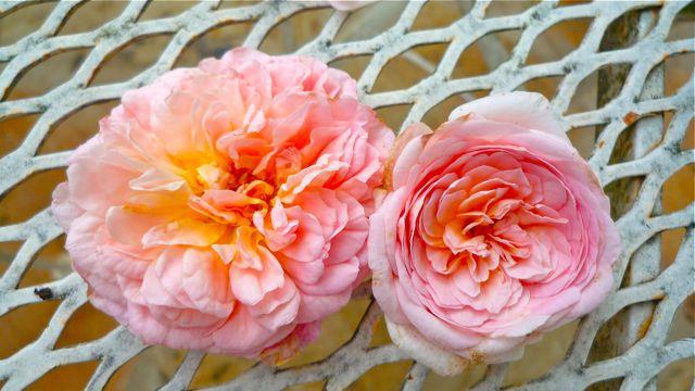 Burke S Garden Evelyn Rose