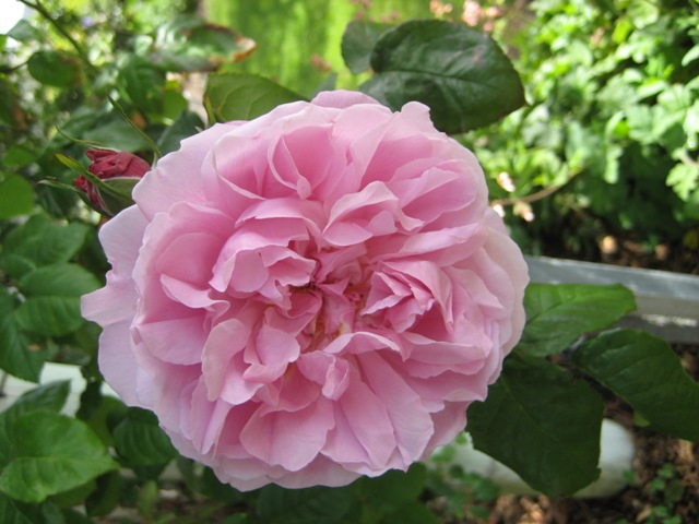 [rose4.jpg]