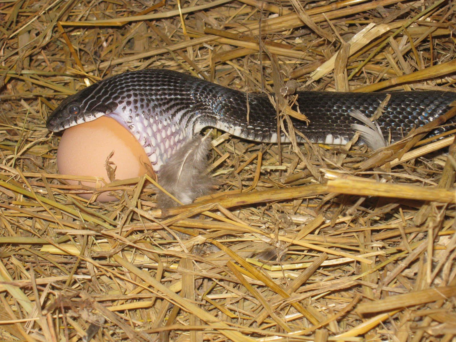Rattlesnake Jaw - Bing images