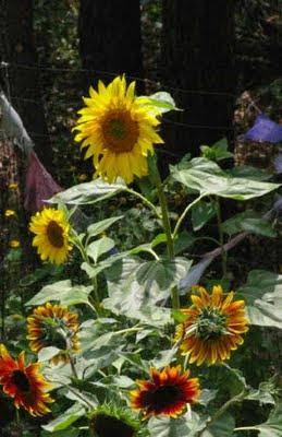 Sunflowers in our garden, August 2009. Photo (c) Chas S. Clifton