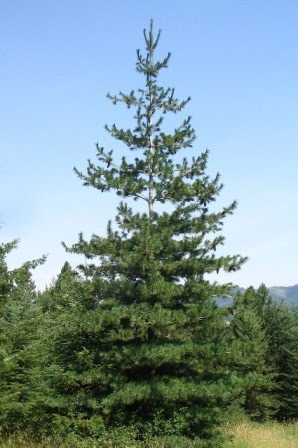 The Eastern White Pine The Tree Of Peace