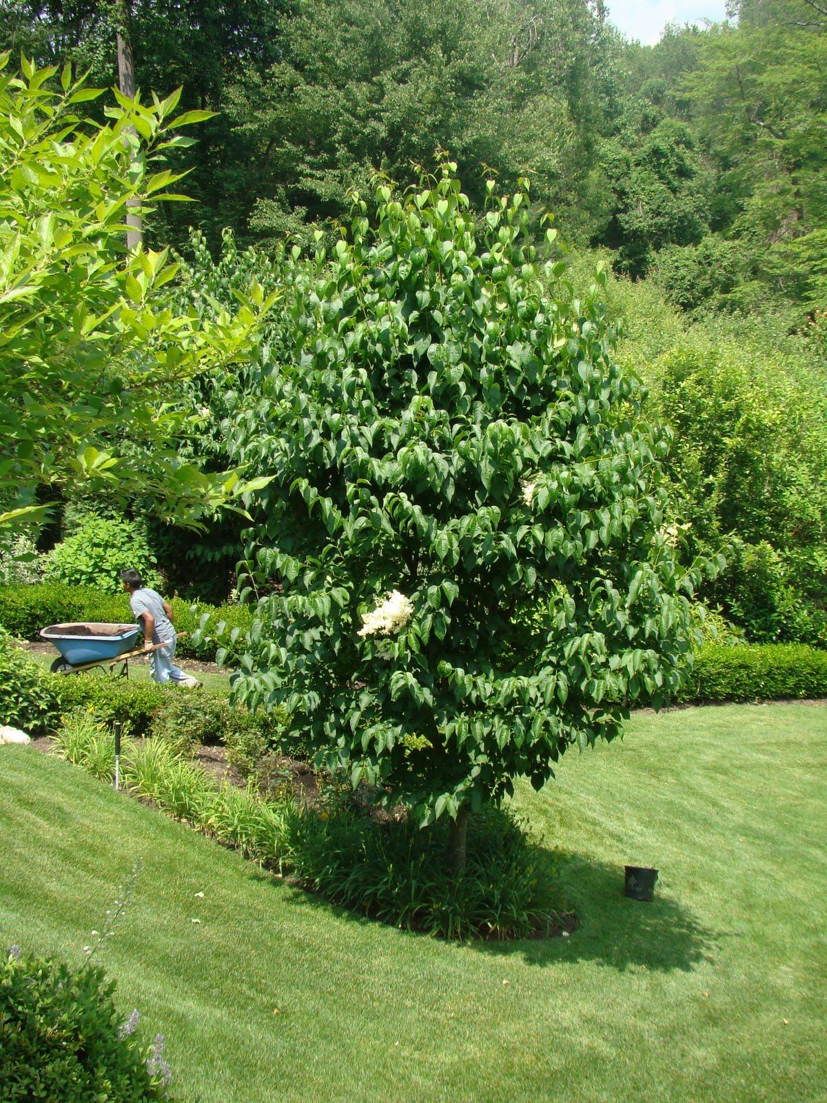 U0027Ivory Silku0027 Tree Lilac   A Remarkable Summer Blooming Tree