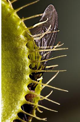 Tumbuhan Venus : tumbuhan, venus, PangkahBulat, Blog:, TUMBUHAN, MONSTER, VENUS