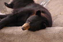 And now, to introduce, the entertaining black bear (a bit tuckered out now!)