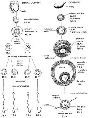 perbandingan-antara-gametogenesis-pada-pria-dan-wanita