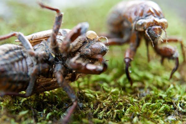 lots of moleted cicada husks