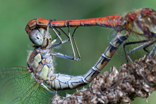 macro photo of mating dragonflies