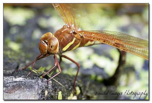 brown hawker dragonfly macro photo