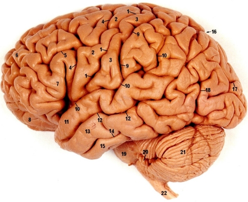 اجزاء جسم الإنسان باللغات الثلاثة. brain2.jpg