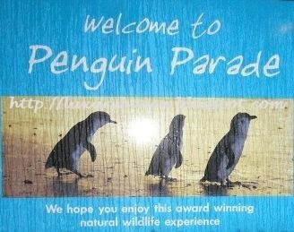 phillip island penguin parade watching tour