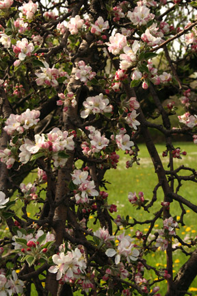 [appleblossoms.JPG]