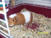 Adopt a Guinea Pig in PA/NJ/NY/WV: NY-Craigslist-Albany ...
