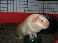 Adopt a guinea pig in pa nj ny wv ny craigslist buffalo - Buffalo craigslist farm and garden ...
