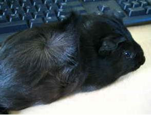 Adopt a guinea pig in va md dc va craigslist norfolk - Charlottesville craigslist farm and garden ...