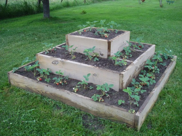Van Wie Variety Raised Strawberry Bed