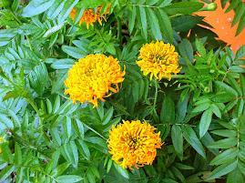 Panamanian Marigold