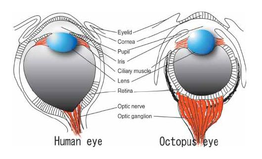 Labeled Diagram Of Octopus 1967 Jeep Cj5 Wiring Cephalove The Visual System They Look Pretty Similar Don T Notably Both Have Lenses To Refract Light A Pupil Restrict Incoming Retinal Surface Distributed