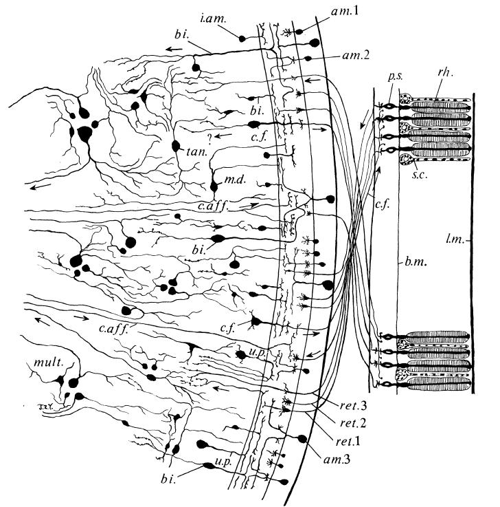labeled diagram of octopus electric wiring symbols cephalove the visual system