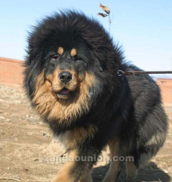 Big Tibetan Dog Tibetan Mastiff