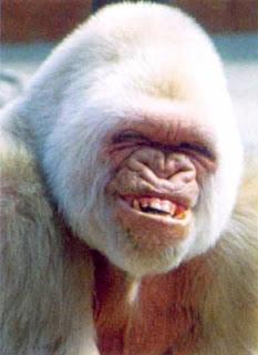 http://bp2.blogger.com/_6NwSLH0-B0A/RvAUzlpub8I/AAAAAAAAARc/v6ITEHm3fEo/s320/Funny-White-Gorrila-Smiling.jpg