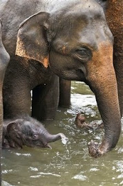 Mother elephant