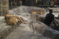 Lounging Lions at the MGM Grand