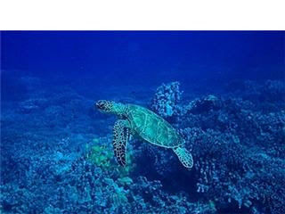 Hawaiian Green Sea Turtle swimming underwater