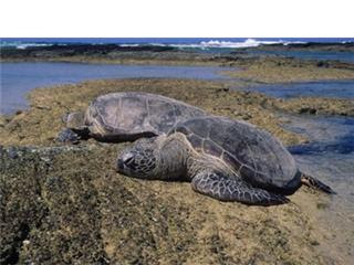 Two Green Sea Turtles basking in the sun