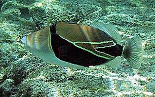 Humuhumunukunukuapuaa Hawaii State Fish