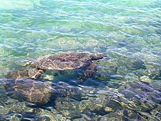 Plenty of green sea turtles at Kiholo Bay