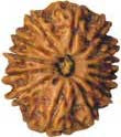 Thirteen faced Rudraksha Bead