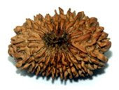 20 Faced Rudraksha Bead