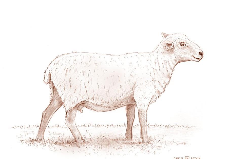 Les dessins de daniel croquis d 39 une brebis sketch of a ewe - Brebis dessin ...