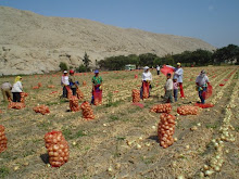 Produccion de cebolla