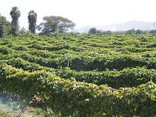 Plantaciones de Maracuya