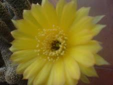 """flor de """"cactus""""(heliactos)"""