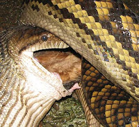 Python Eating Dog