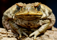 poisonous cane toad