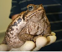 Australian Cane Toad