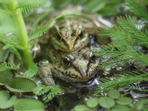 Frogs Having Sex